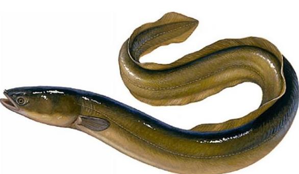 Manfaat Ikan Sidat Untuk Tumbuh Kembang Anak