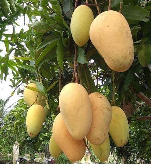 Manfaat Mangga Chokanan Yang Kaya Vitamin C Dan Antioksidan