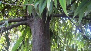 Manfaat Tumbuhan Eboni – Kayu Langka Dari Sulawesi