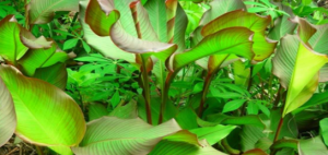 Manfaat Tumbuhan Ganyong Yang Kaya Gizi
